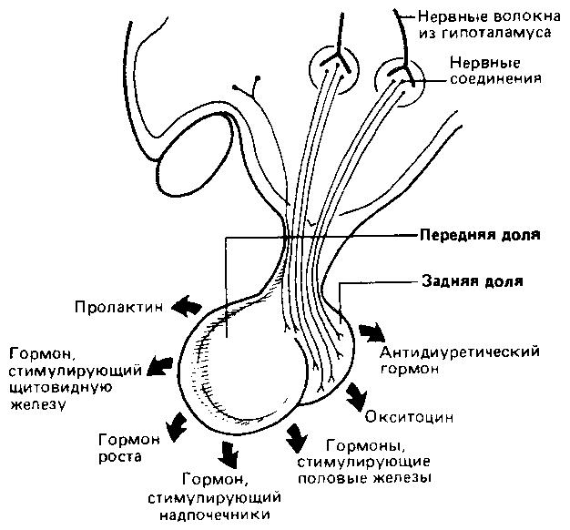 gormoni-pri-orgazme